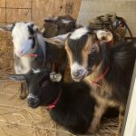 Loving The Goats